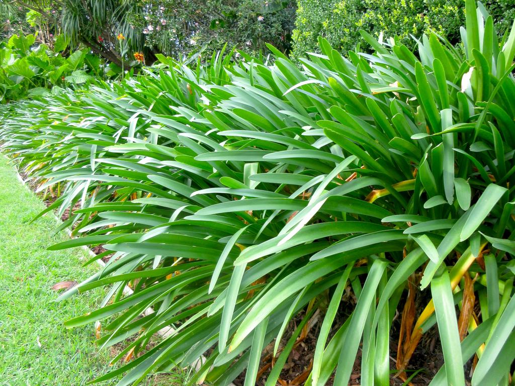 Abstract Agapanthus Garden Bed Edge